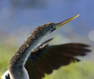 Male American Anhinga Stock Photo