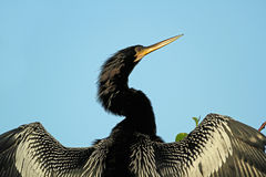 Male American Anhinga with Wings Extended Stock Images