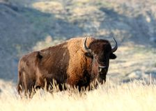 A male American Bison. A lone american bison or buffalo standing alone in grassy Praire at sunset Stock Image