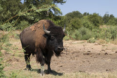 Male American Bison or Buffalo walking toward the camera Stock Photos