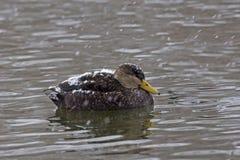 Male American Black Duck, Anas rubripes in winter Stock Photos
