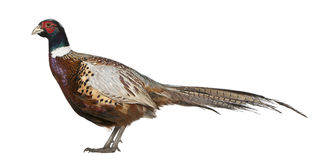 Male American Common Pheasant. Phasianus colchicus, standing in front of white background stock image