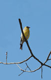 Male American Goldfinch Royalty Free Stock Photography