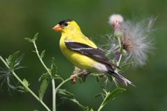 Male American Goldfinch Stock Images
