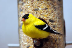 Male American goldfinch looking Stock Image