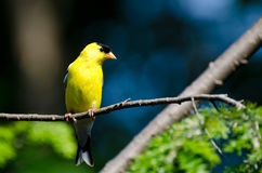 Male American Goldfinch Perched in a Tree Royalty Free Stock Photography
