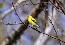 Male american goldfinch perched in the tree. With blue sky background Royalty Free Stock Images