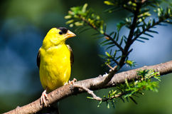 Male American Goldfinch Perched in a Tree Royalty Free Stock Image