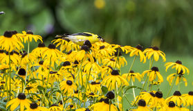 Male American Goldfinch on Rudbeckia Royalty Free Stock Photos