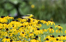Male American Goldfinch on Rudbeckia Royalty Free Stock Photo