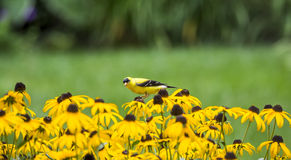 Male American Goldfinch on Rudbeckia Royalty Free Stock Image
