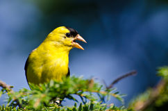 Male American Goldfinch Singing in the Sunshine. In a Cedar Tree Royalty Free Stock Photos