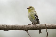 Male American Goldfinch in Spring Moult Royalty Free Stock Images