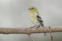 Male American Goldfinch in Spring Moult Stock Image