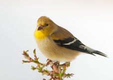 Male American Goldfinch in winter plumage Royalty Free Stock Photos