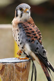 Male American Kestrel Stock Photos