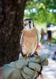 Male American Kestrel Royalty Free Stock Image