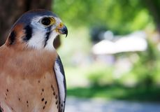 Male American Kestrel Royalty Free Stock Photography