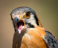 Male American Kestrel Stock Photo