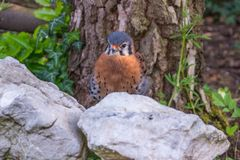 Male American Kestrel with lower body hidden behind a white rock Stock Image