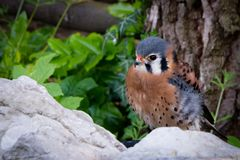 Male American Kestrel with red beak and spotted body Stock Photography