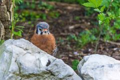 Small Male American Kestrel partly hidden by a white rock Royalty Free Stock Images