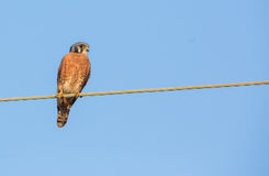 Male American Kestrel on a wire Royalty Free Stock Photography