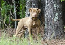 Male American Pitbull Terrier dog, pet adoption photography. Unneutered male rednose pit bull terrier dog, chocolate red color, on leash outdoors in trees. Pet Royalty Free Stock Photo