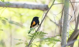 Male American Redstart Setophaga ruticilla Perched in a Tree w. Ith a Leafy Background Stock Photography