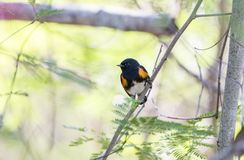 Male American Redstart Setophaga ruticilla Perched in a Tree. With a Leafy Background Stock Photography