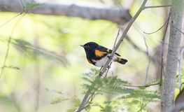 Male American Redstart Setophaga ruticilla Perched in a Tree w. Ith a Leafy Background Royalty Free Stock Image