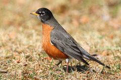 Male American Robin (Turdus migratorius). Looking for worms on a lawn in spring Stock Image