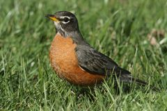 Male American Robin (Turdus migratorius). Looking for worms on a lawn in spring Stock Photos