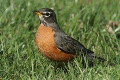 Male American Robin (Turdus migratorius) Stock Photos