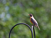 Male American Robins Royalty Free Stock Image