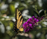 Male American Tiger Swallowtail Butterfly. A male American Tiger Swallowtail butterfly perched on the purple flower of a butterfly bush Royalty Free Stock Photography