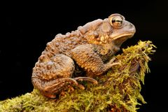 Male American Toad (Bufo americanus). With a black background Stock Photo