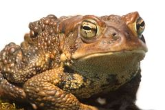 Male American Toad (Bufo americanus). With a black background Royalty Free Stock Photos