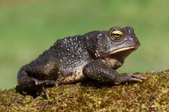 Male American Toad (Bufo americanus). With a green background Royalty Free Stock Image