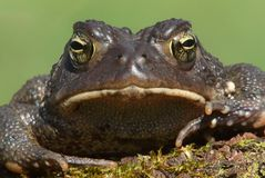 Male American Toad (Bufo americanus). With a green background Royalty Free Stock Photography
