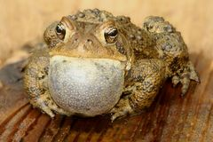 Male American Toad (Bufo americanus). Performing a mating call Royalty Free Stock Photos