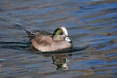 American Widgeon. Male American widgeon duck swims on the water Royalty Free Stock Image