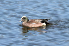 Male American Wigeon (Anas americana). Swimming in the ocean Royalty Free Stock Photos