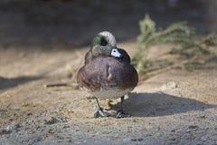 Male American Wigeon, Anas americana Stock Image