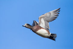 Male American Wigeon Anas americana in flight. A adult male American Wigeon in breeding plumage, seen from below, flying against blue sky background Stock Photography