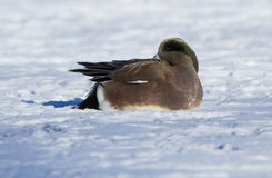 American Wigeon in winter Royalty Free Stock Photography