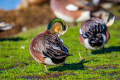 Male American Wigeon. A male american wigeon duck combs his feather Royalty Free Stock Photography