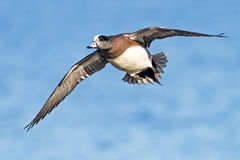 Male American Wigeon Royalty Free Stock Images
