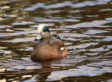 Male  American Wigeon Swimming Duck. American Wigeon Swimming Duck  in water Stock Photo