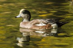 Close up of American Wigeon. A male American Wigeon swims in the pond at Cannon Hill Park in Spokane, Washington Royalty Free Stock Photography